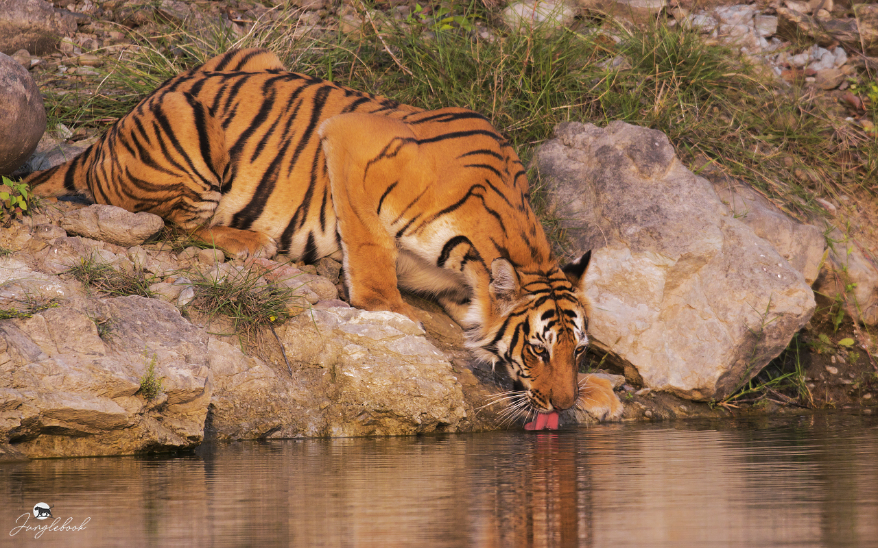 Jim Corbett Tiger Reserve, National Park, conservationist, Tehri, Project Tiger, Pugmark, Wildlife Protection Act, ranges, endangered, National Animal,  Royal Bengal Tiger, Panthera tigris tigris, tribe, Ramganga, river, Dhikala, Patli Dun valley, Kanda, Kalagarh Dam, Ramnagar,  Lucknow, Nainital, Ranikhet, Haridwar, Dehradun, New Delhi  flora, fauna, accommodation, Yogesh Rane, yogeshrane, www.yogeshrane.com, www.junglebook.co.in, junglebook, migratory, resident, native, passion, hobby, patience, camera, lens, jungle, woods, forests, Central India, Asia, India, Indian, wild, subcontinent, images, wildlife, nature, photography, photograph, picture, naturalist, wildlifer, study, conservation, protection, zoology, ornithology, Hotels, resorts, photo gallery, tourism, ecotourism, tour, habitat, terrain, safari, trails, birdwatcher, bird watching, birding, packages, gallery, zones, professional, ametur, enthusiast, Sony Alpha 200, Sony Alpha 580, Sony DT 18-70mm 1:3.5-5.6, Sony SAL75300 telephoto zoom, Sigma 150-500mm f/5.6-6.3 DG HSM OS, Sony Mount, Sigma 500mm F4.5 EX DG APO, Kenko Teleconverter 1.5x, Tripod, Manfrotto 190 X PROB, Head, Manfrotto 393, Manfrotto 357PLV, BH-2-M  Ball Head, Binoculars, HAWKIE BlackWatch 16 x 50, field of view 70M/1000M, Dry-Cabinet -AD 100, Kalabhai, digicabi, digital, DSLR, single lens reflex, prime, vegetation, landbirds, biodiversity, core, buffer, species, landscape, diverse, adventure, reptiles,