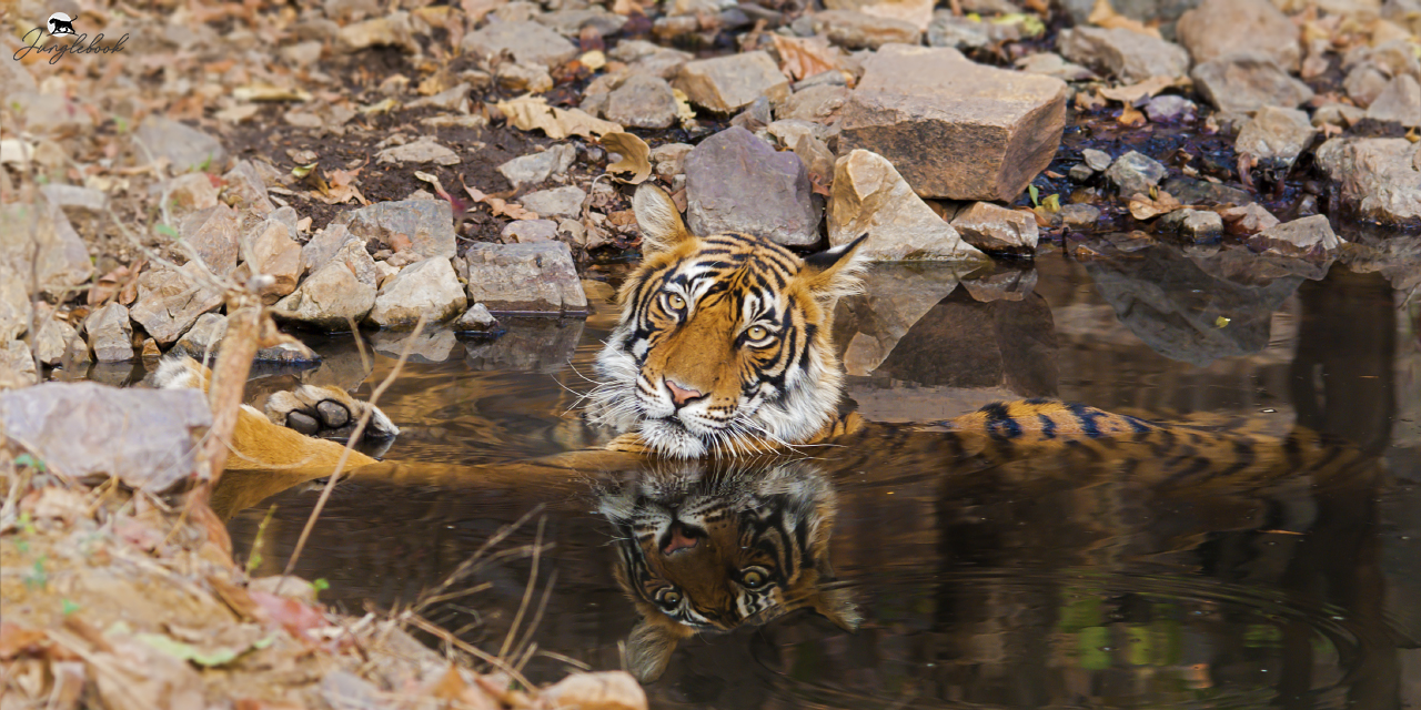 Ranathambhore Tiger Reserve, Ranathambhor, National Park, Sawai Madhopur, Sanctuary, Sawai Mansingh, Project Tiger, Kota, Jaipur, fort, Sawai Man Singh Sanctuary and Keladevi Sanctuary, Pugmark, Tigermoon, Padam talav, hunter mahal, flora, fauna, malik talav, Lakarda and Anantpura, Rajbagh, Bakaula, Agra, banyan, endangered, National Animal,  Royal Bengal Tiger, Panthera tigris tigris,  flora, fauna, accommodation, Yogesh Rane, yogeshrane, www.yogeshrane.com, www.junglebook.co.in, junglebook, migratory, resident, native, passion, hobby, patience, camera, lens, jungle, woods, forests, Central India, Asia, India, Indian, wild, subcontinent, images, wildlife, nature, photography, photograph, picture, naturalist, wildlifer, study, conservation, protection, zoology, ornithology, Hotels, resorts, photo gallery, tourism, ecotourism, tour, habitat, terrain, safari, trails, birdwatcher, bird watching, birding, packages, gallery, zones, professional, ametur, enthusiast, Sony Alpha 200, Sony Alpha 580, Sony DT 18-70mm 1:3.5-5.6, Sony SAL75300 telephoto zoom, Sigma 150-500mm f/5.6-6.3 DG HSM OS, Sony Mount, Sigma 500mm F4.5 EX DG APO, Kenko Teleconverter 1.5x, Tripod, Manfrotto 190 X PROB, Head, Manfrotto 393, Manfrotto 357PLV, BH-2-M  Ball Head, Binoculars, HAWKIE BlackWatch 16 x 50, field of view 70M/1000M, Dry-Cabinet -AD 100, Kalabhai, digicabi, digital, DSLR, single lens reflex, prime, vegetation, landbirds, biodiversity, core, buffer, species,